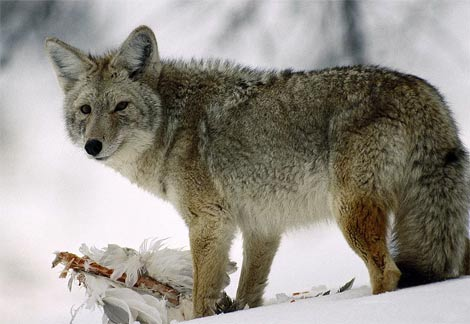 Tracking System Records Coyote