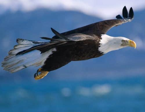 Bald Eagle Is Released With GPS Tracker